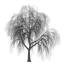 3D Illustration Willow On White