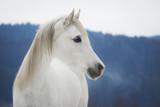 Biała klacz czystej krwi arabskiej w śniegu - 107743190