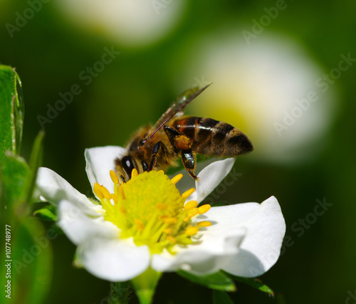 Poster Bee Bee on the flower