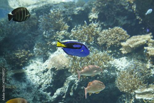 Poster Coral reefs pesce chirurgo in acquario