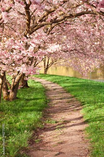 Blühende Kirschbäume im Frühling Canvas Print