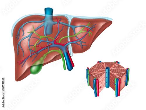 anatomia-watroby-biologia