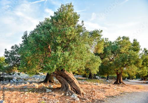 Spoed Foto op Canvas Olijfboom Olive tree garden