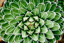 Agave Victoriae-reginae Compacta / Cactus With Nice Symmetry That Grows In Mexico And USA