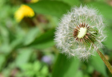 タンポポの綿毛/Puffball