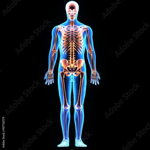 Fotografía  Ilustración 3D anatomía del esqueleto