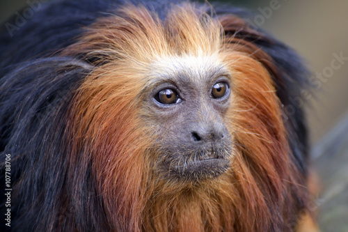 Fotobehang Leeuw Golden-headed Lion Tamarin