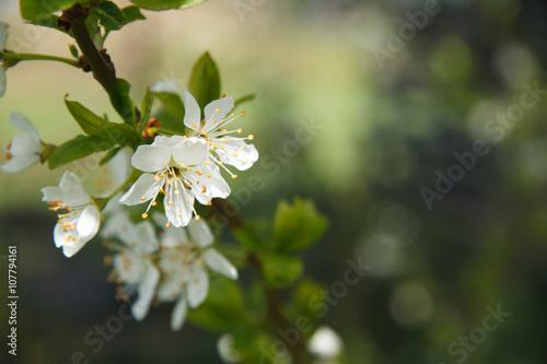 Fleur De Prunier Buy This Stock Photo And Explore Similar Images