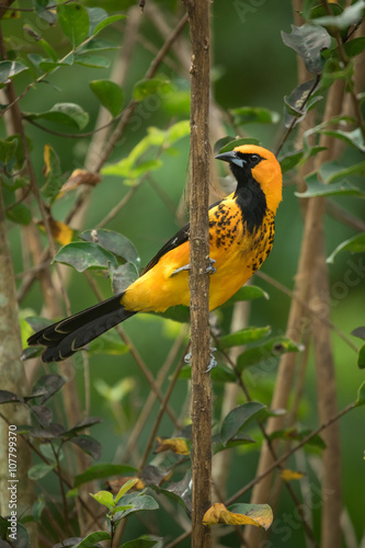 Spot-breasted Oriole Poster