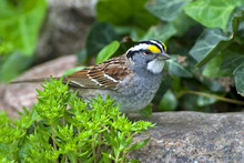 White Throated Sparrow (Zonotrichia Albicollis) Standing In Rock Garden