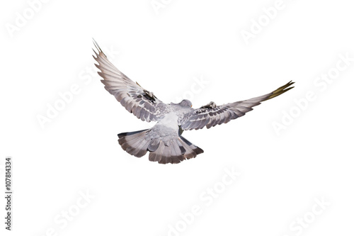 Flying pigeon isolated on white