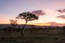 Savanna Plain With Acacia Tree...