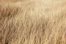 Field Of Long Dry Grass Background