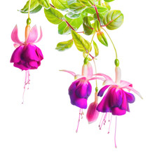 Beautiful Blooming Branch Of Violet Fuchsia Flower Is Isolated On White Background, Close Up