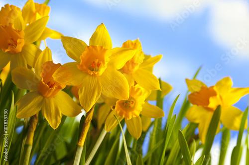 In de dag Narcis Spring meadow - daffodils