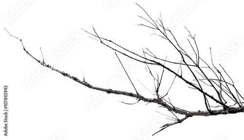 Fotografia  branche morte sur fond blanc
