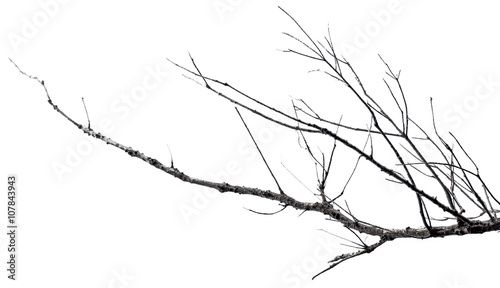 branche morte sur fond blanc Fototapeta