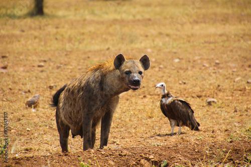 Spoed Foto op Canvas Hyena Hyena in the North Serengeti