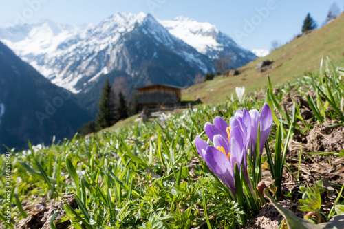 Recess Fitting Crocuses Krokus Frühlingsblumen der Alpen