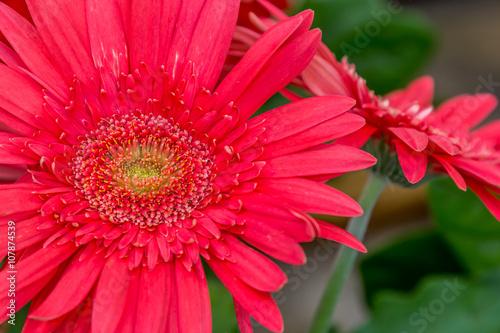 Foto op Canvas Madeliefjes Flores vermelhas.