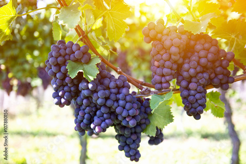 Obraz Red grapes with green leaves on the vine by sunset - fototapety do salonu