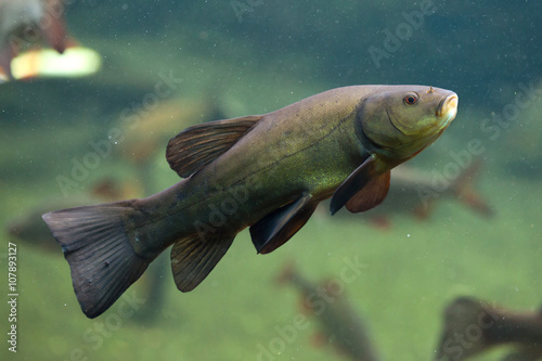 Fotografia, Obraz Tench (Tinca tinca), also known as the doctor fish.