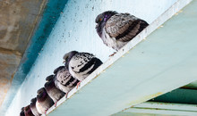 Row Of Gray Pigeons Sitting On...