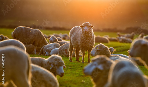 Fotobehang Schapen Flock of sheep at sunset