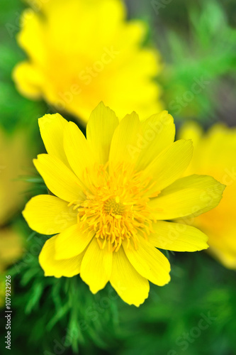 Yellow flowers of adonis (Adonis vernalis) Wallpaper Mural