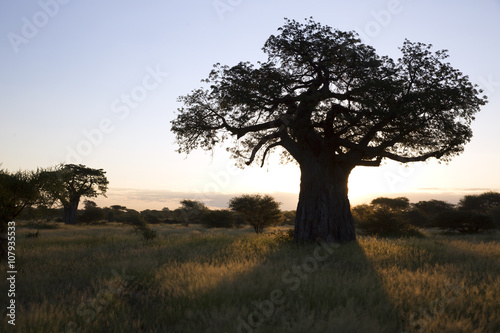 Recess Fitting Baobab Baobab tree in african landscape