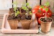 canvas print picture - Junge Tomatenpflanzen und reife Tomaten auf Holz