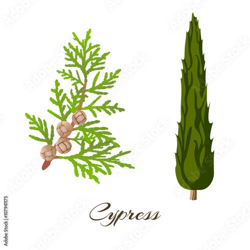 Foto  cypress