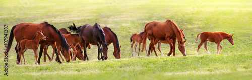 Leinwand Poster Horse herd on pasture at spring sunny day