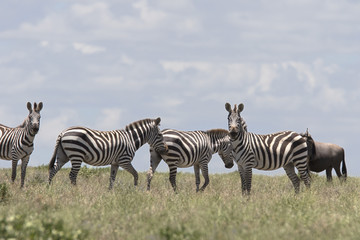 Fototapeta Portrait of wild free roaming zebra
