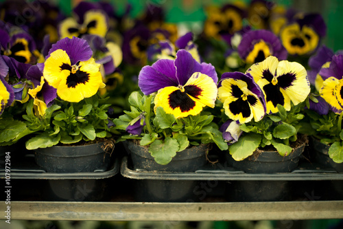 Papiers peints Pansies colorful pansies