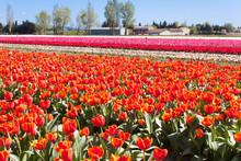 Tulipes Roses Dans Leur Champ