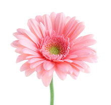 Pink Gerbera, Isolated On White