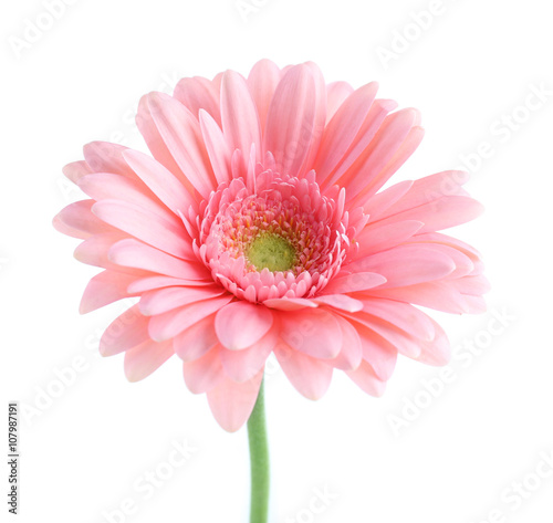 Fotobehang Gerbera Pink gerbera, isolated on white