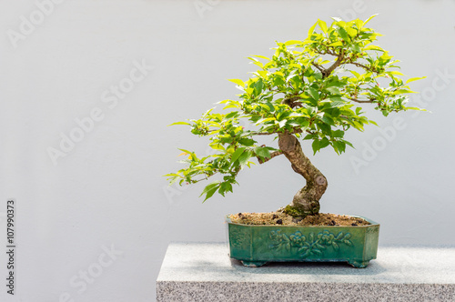 Montage in der Fensternische Bonsai Kurile cherry tree bonsai
