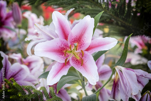 Beautiful pink lily in garden, Zephyranthes flower  Common names for