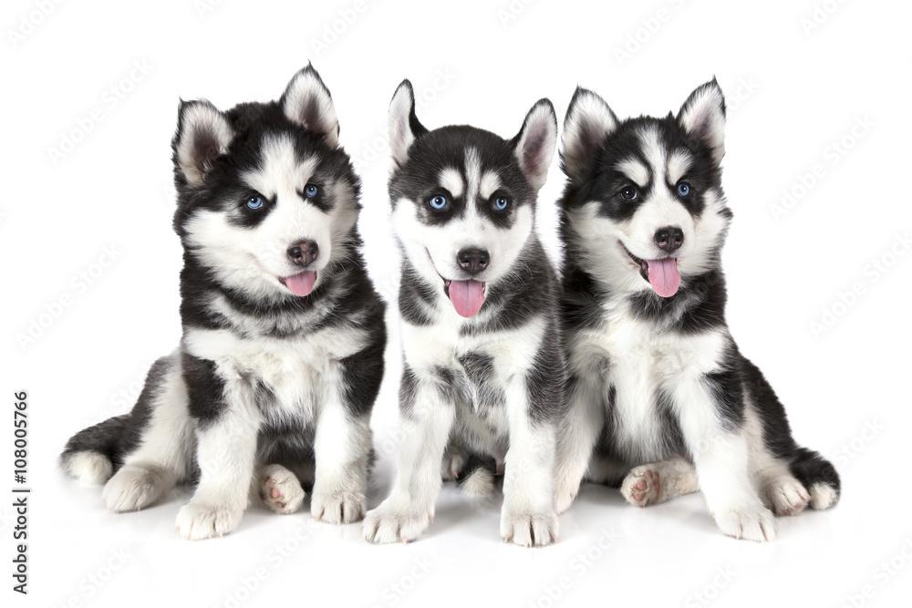 Fotografía Tres cachorros Siberian Husky sobre blanco   Europosters.es
