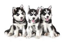 Three Siberian Husky Puppies Over White