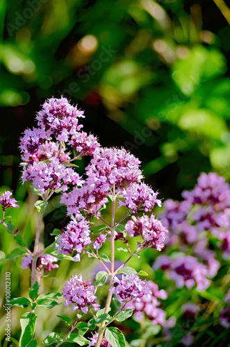 Photo  Oregano lilac