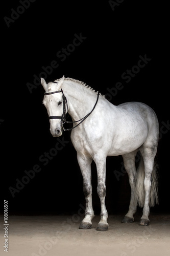 Photo White horse portrait in dressage bridle isolated on black background