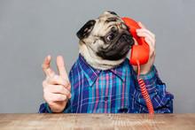 Amazed Man With Pug Dog Head Talking On Telephone
