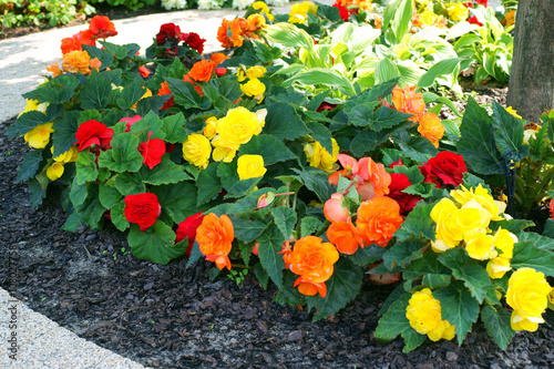Stampa su Tela Begonia Tuberhybrida in a flowerbed