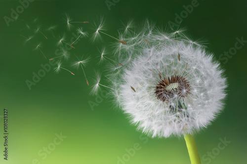 Dandelion blowing in morning