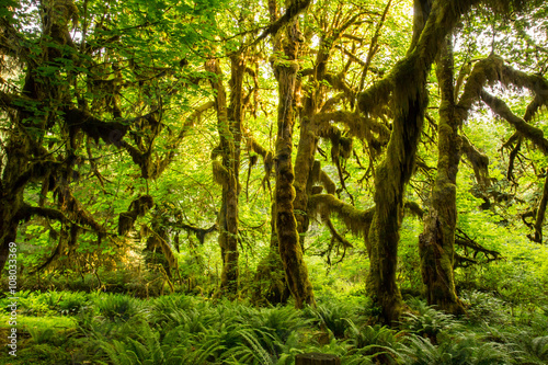 Fotografie, Obraz  Olympic National Park Hoh Rainforest The Epic Hall Of Mosses