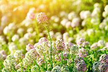 Field Of Lobularia Maritima Flowers Lit By Sunlight