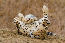 Cheetah Resting In A Funny Position